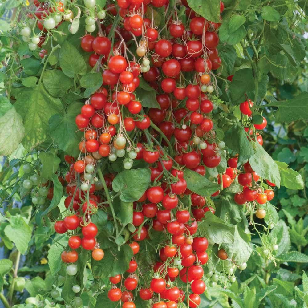 sweet million cherry tomato super sweet 100 50 25. Black Bedroom Furniture Sets. Home Design Ideas