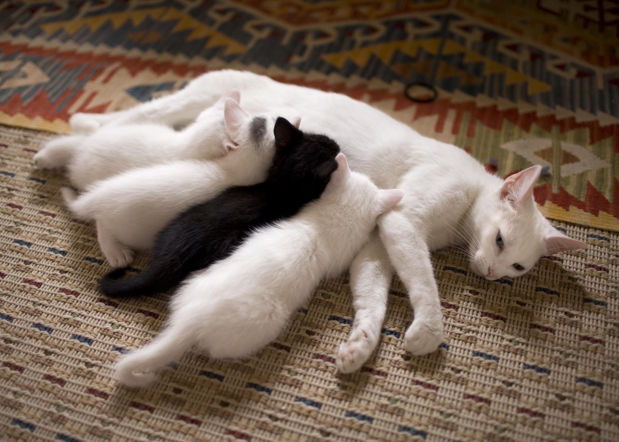 Learn Proper Post Natal Care For A Cat And Her Newborn Kittens Pregnant Cat Kitten Care Newborn Kittens