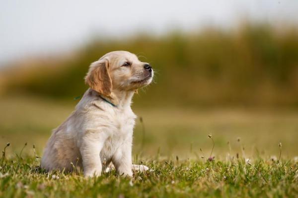 Differences Between Labrador And Golden Retrievers Pet Vet Pet