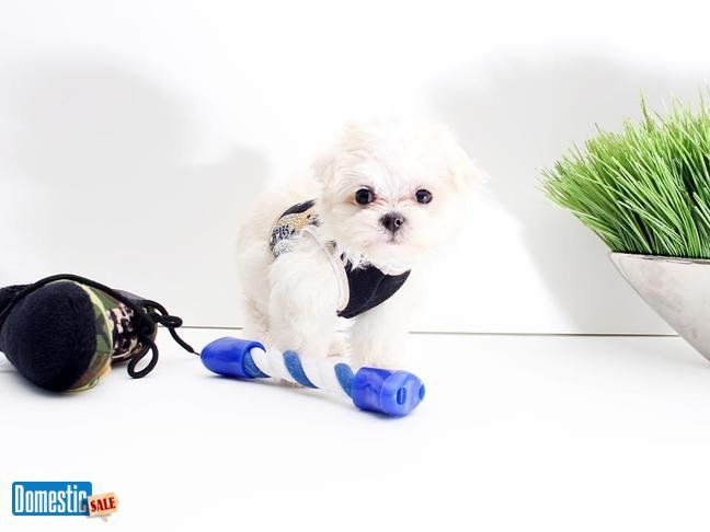 Maltese Puppies Available Now 1,500 Agoura Hills