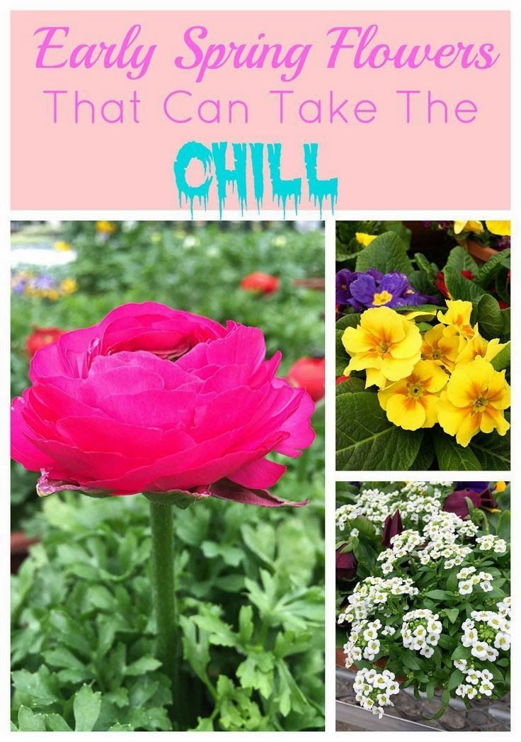 Cold Tolerant Early Spring Flowers To Plant Now And Enjoy All Long These Colorful Plants Can Survive A Light Frost Keep Looking Great