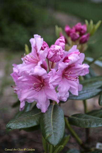 Rhododendron 'Wyandach Pink'... your massive blooms take me to a place very different from here