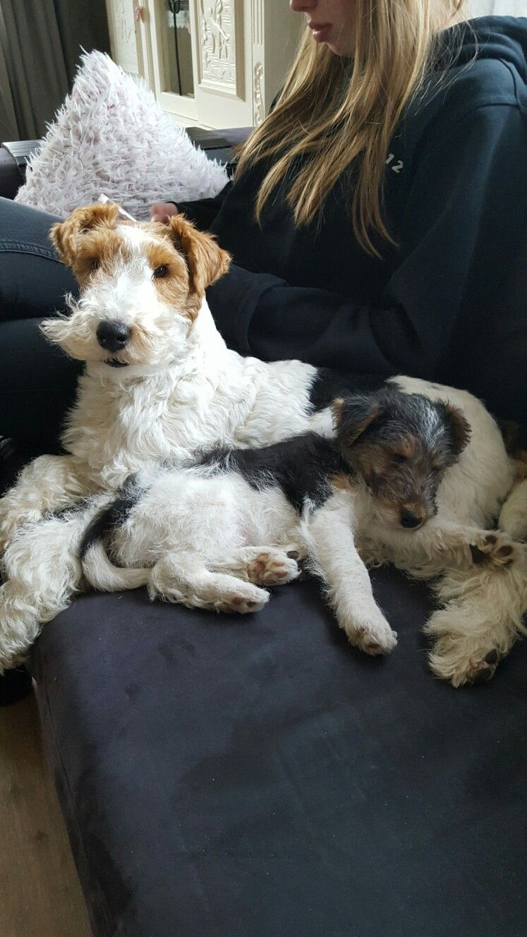 We had two wire-haired terriers Pepe and Reagan. | Terrier mix ...