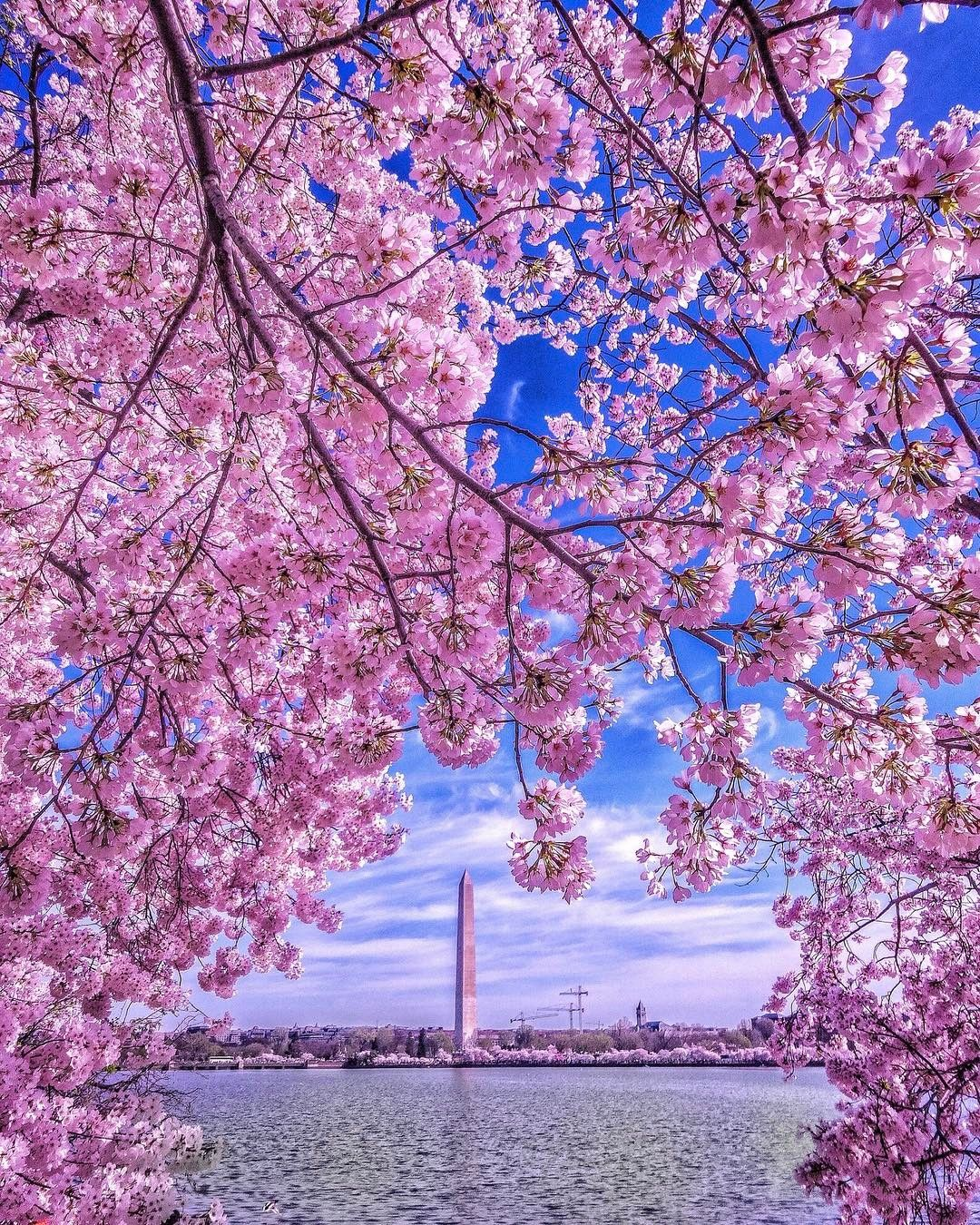 Cherry Blossoms In Washington Dc Photo Instagram Instagram Photo