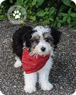 St Louis Park Mn Toy Poodle Australian Shepherd Mix Meet