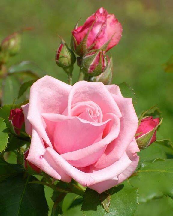 Rosa Nella Vita Le Cose Più Belle Sono Quelle Fatte Con Il Cuore. Sono  Quelle