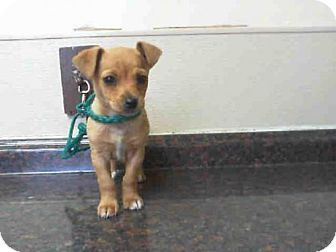 Las Vegas Nv Chihuahua Meet Skippy A Puppy For Adoption Puppy Adoption Puppies Kitten Adoption