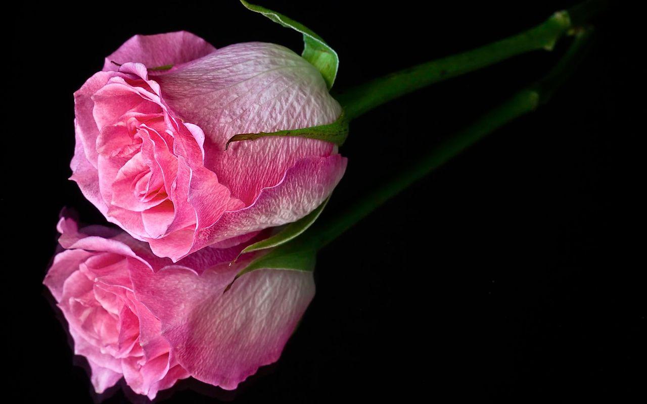 Pink Single Rose Best Wallpaper Hd Pink Rose Wallpaper Hd Pink Roses Wallpaper Flowers