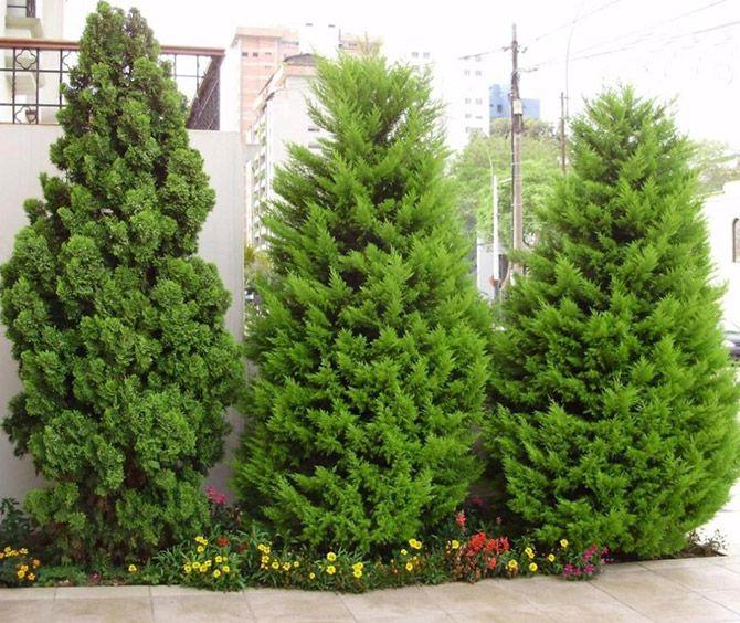 Resultado de imagen para pino limon ideas para el jard n for Tipos de pinos para jardin fotos