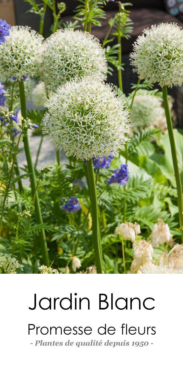 Allium stipitatum White Giant http//www.promessedefleurs