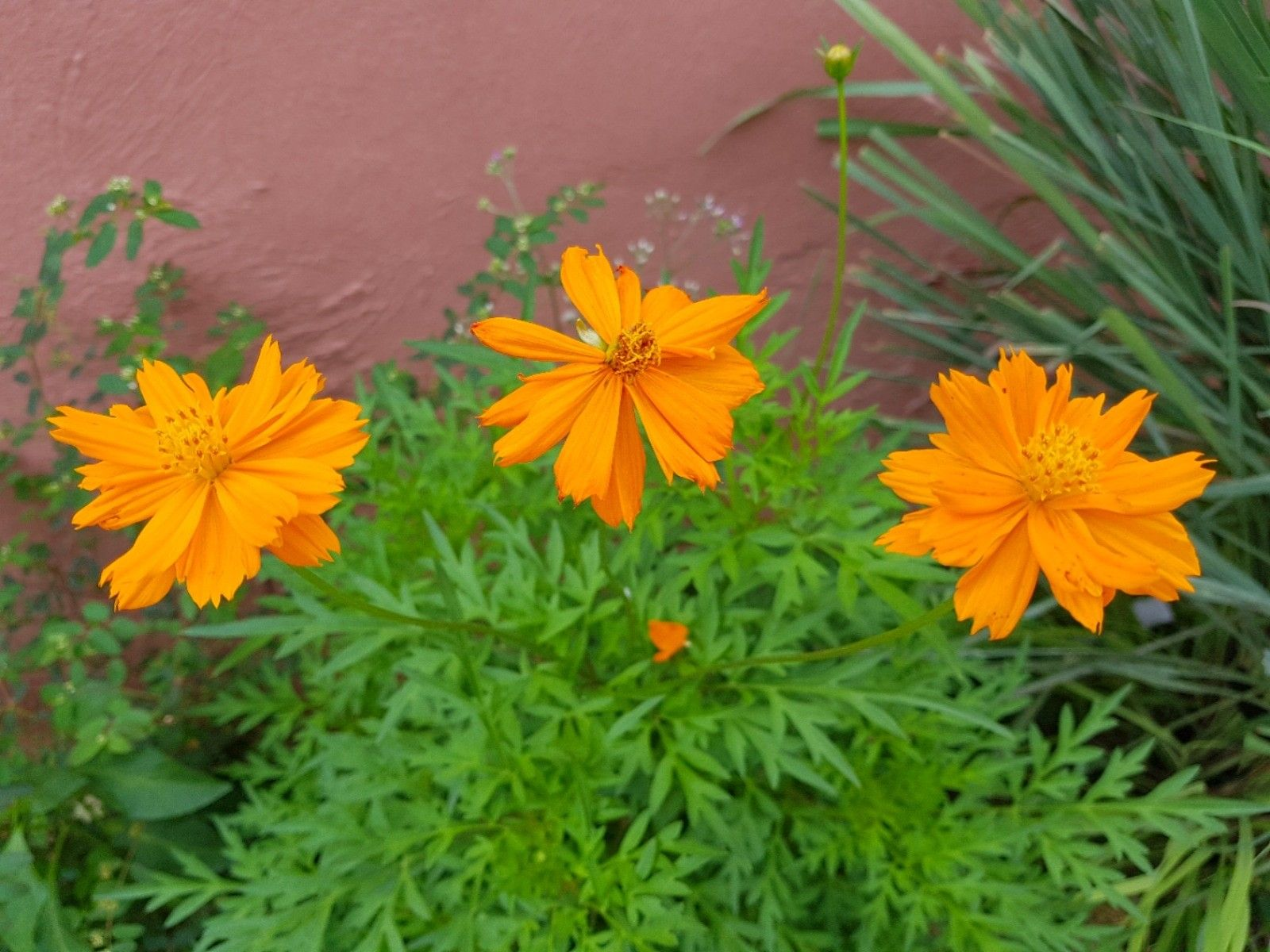 Three Lovely Cosmos Flower A Flowering Ornamental Plants For