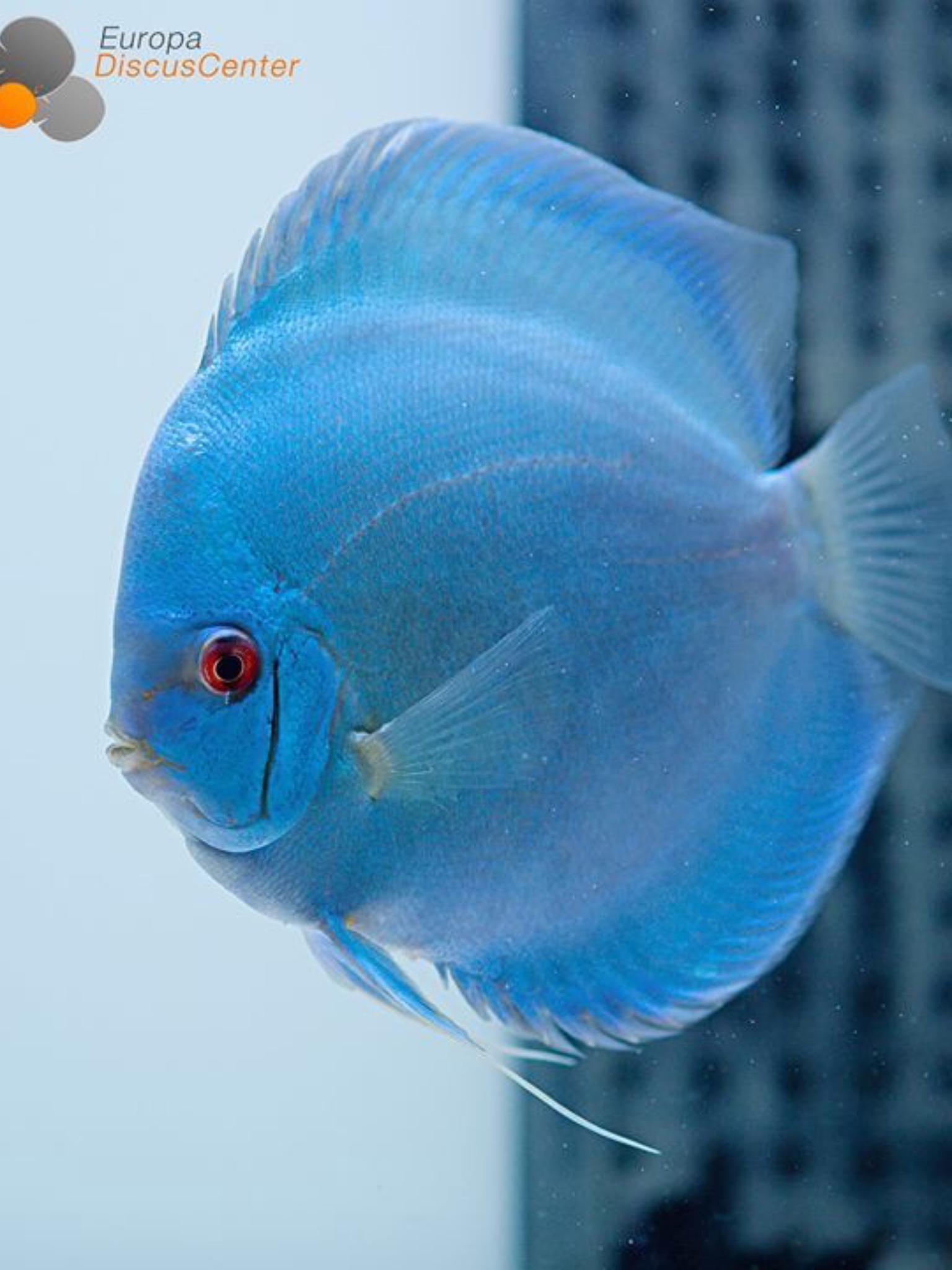 Amazing Discus Fish Is So Pretty Amazingfish Amazingbeta Arowanas Beautifulkoi Beautifulfish Guppyfishes Amaz In 2020 Aquarium Fish Discus Fish Discus Aquarium