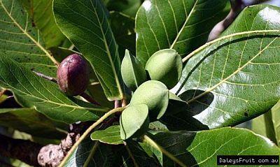 10 Viable Fresh Seeds Goji Berry Bonsai Tree Rare Lycium Chinense
