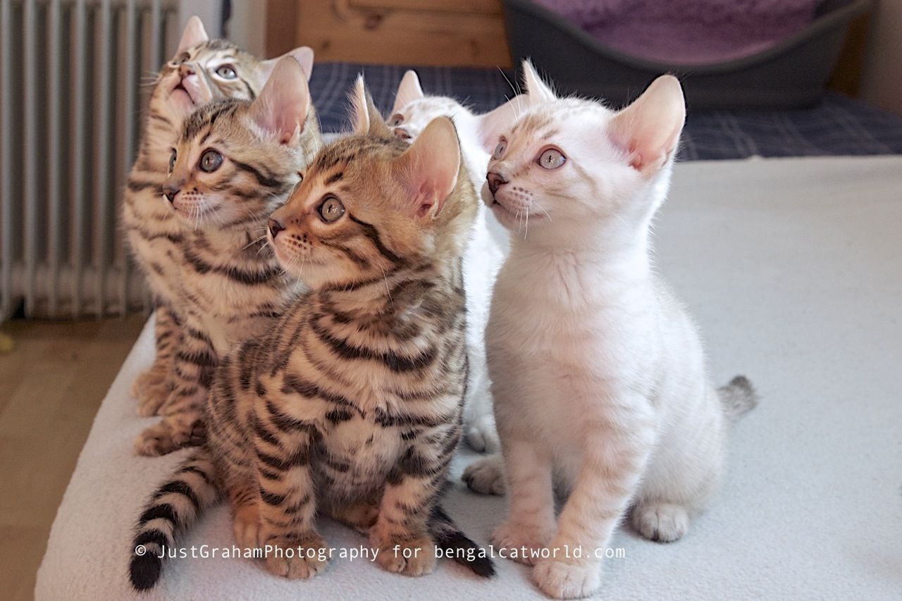 13 Smartest Cat Breed In The World | Bengal, Cat and Cat photography