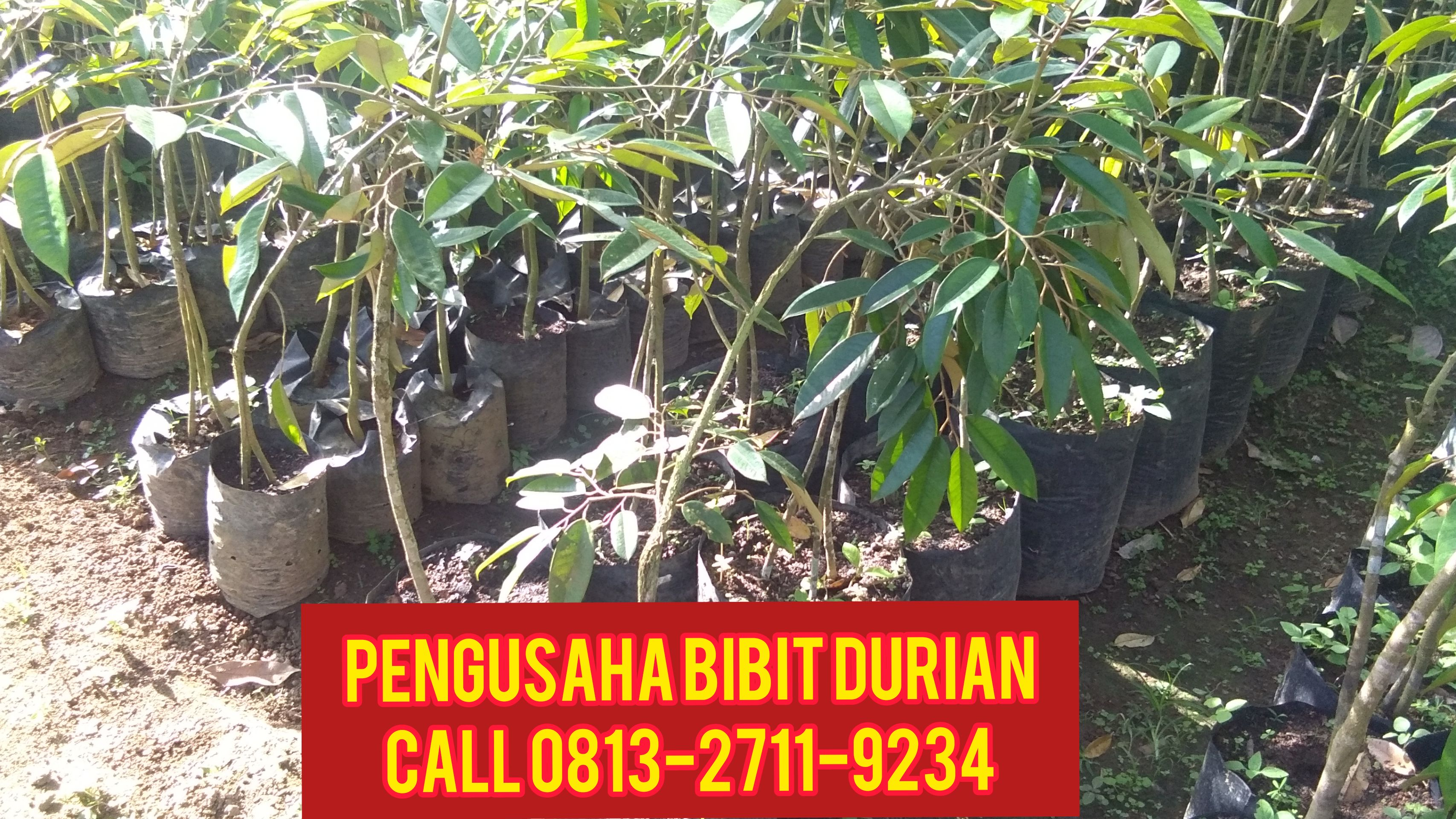 Perkebunan Durian Di Semarang