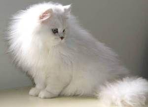 chinchilla cat care information