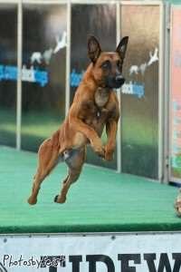 Photo 1 200x300 Jpg 200 300 Pixels Belgian Malinois Dog Belgian Malinois Malinois Dog
