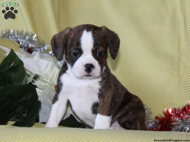 Calvin boston terrier mix puppy for sale in quarryville