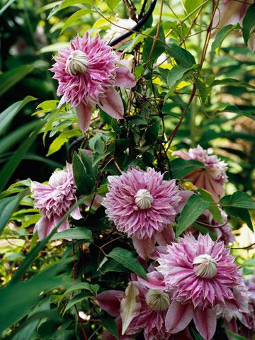Clematis 'Evijohill' Bears unusual double lilac-pink flowers through summer and early fall. It climbs to 7 feet. Zones 4-9 Clematis - Plant Encyclopedia - BHG.com