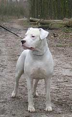 Dogo Argentino Argentinian Mastiff Bloodlines And Morphology