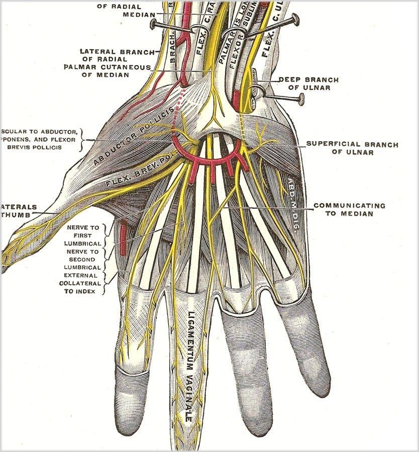 Grays Anatomy HAND PRINT Anatomical Hand Wrist by vintagewarehouse ...