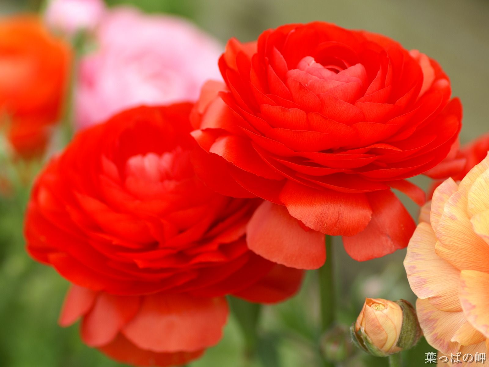 red flowers Google Search Red flower wallpaper, Red