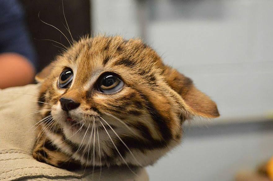 Gato patinegro (Felis Nigripes)