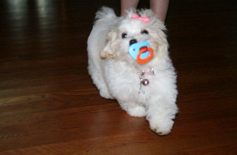 Maltipoo puppies for sale pocketpoos in 2020 maltipoo