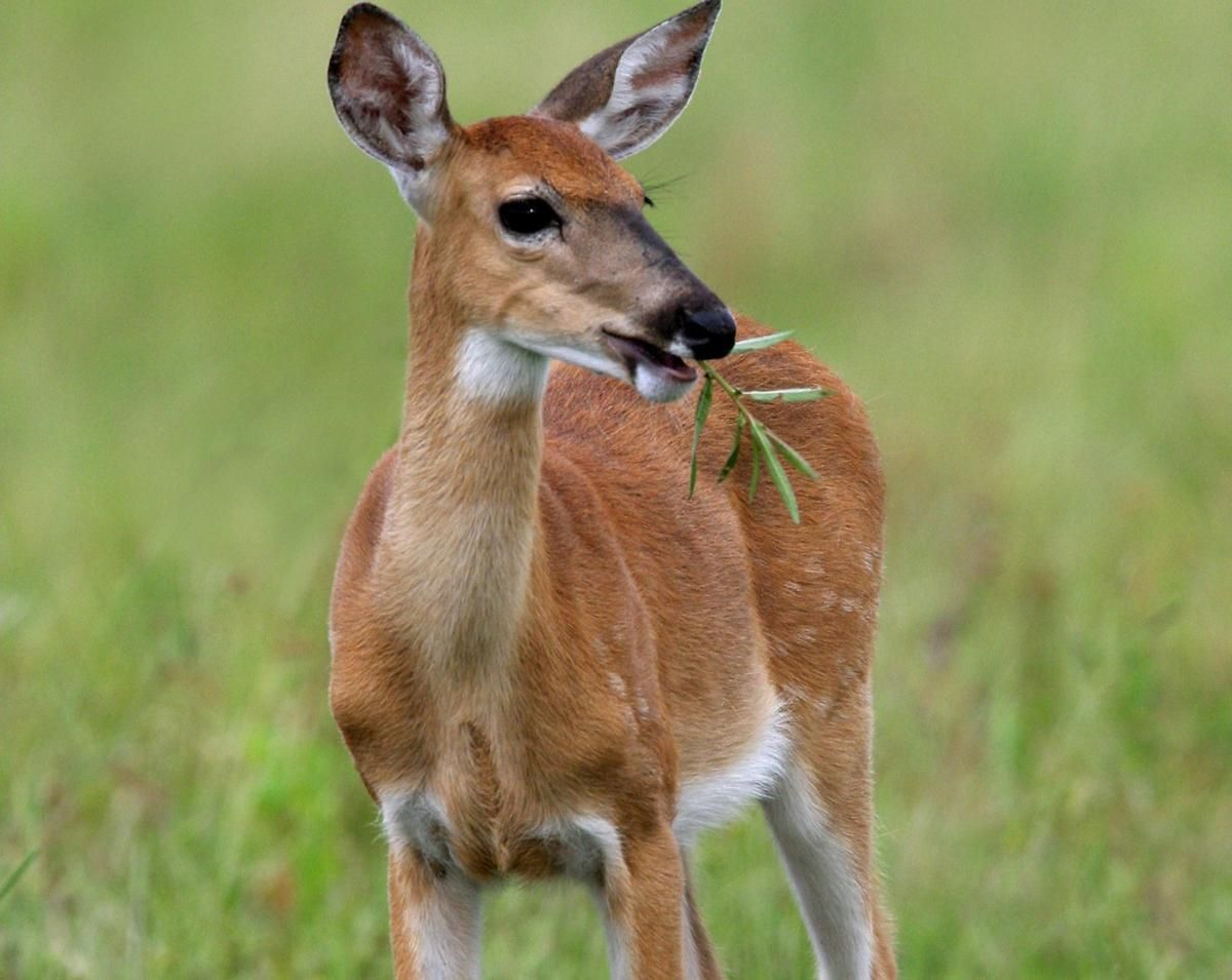 Found on Bing from Whitetail deer