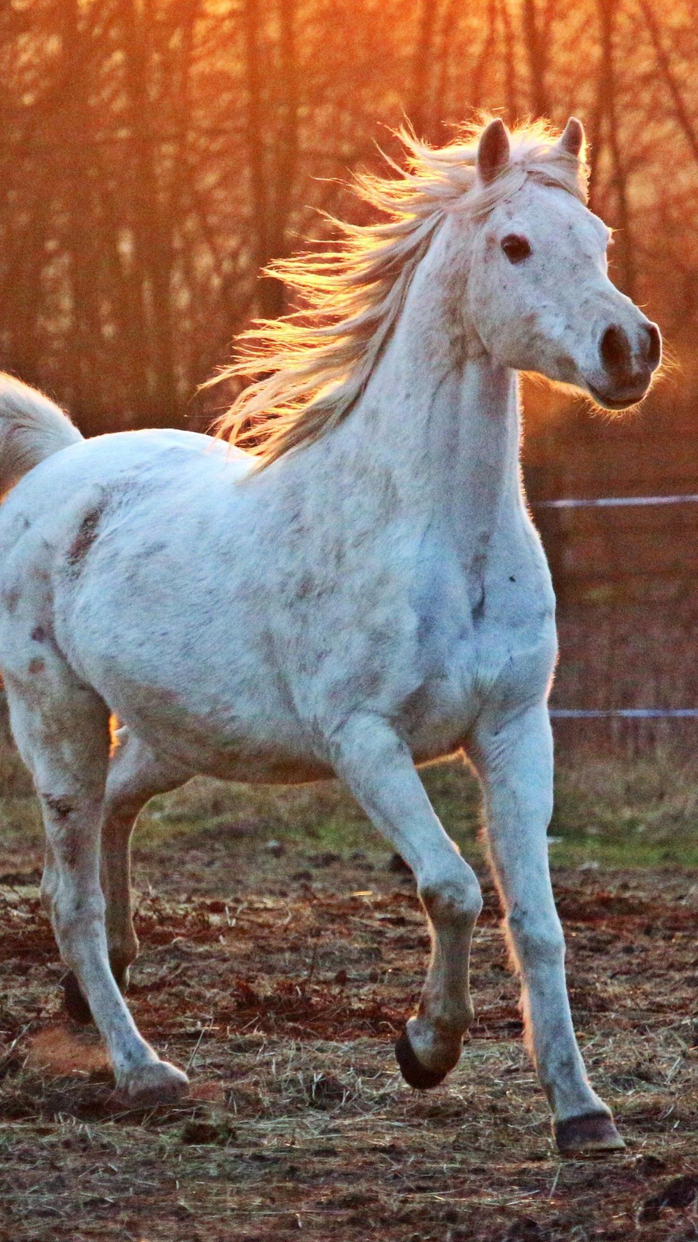 White Arabian Horse Wallpaper Iphone Android Desktop Backgrounds Horse Wallpaper White Arabian Horse Horses