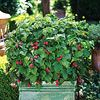 Eat What You Grow embrace the concept of edible landscaping. Happily, plant breeders are jumping on board, too: From the Urban Columnar series of apples to the new dwarf thornless raspberry and dwarf blueberry bred to look fantastic in pots, it's easier and more popular than ever to have a good-looking yard you can eat from. Pictured: thornless raspberry \