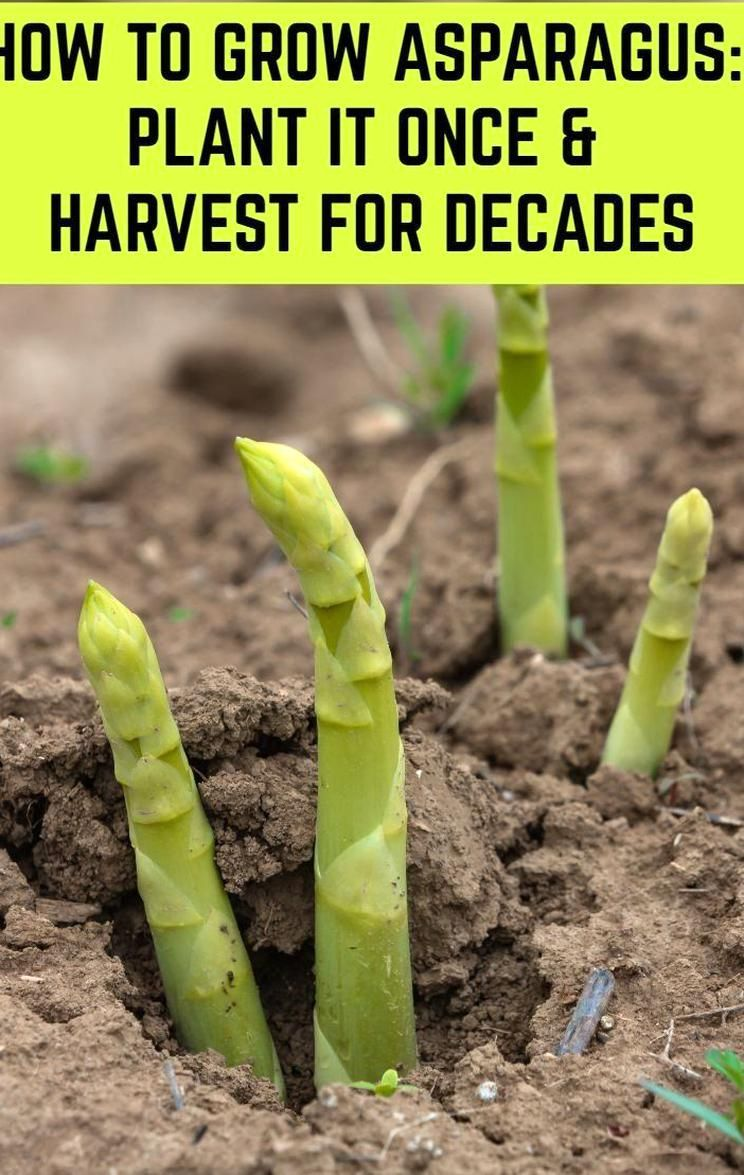 How To Grow Asparagus The Delicious Vegetable That Grows Back Every Year In 2020 Natural Garden Garden Types Growing Asparagus