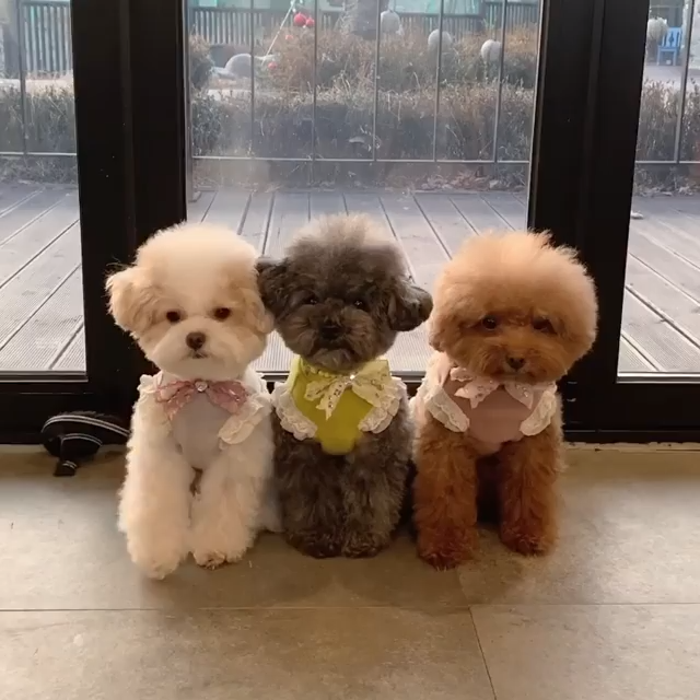 Cutest Poodle Puppies