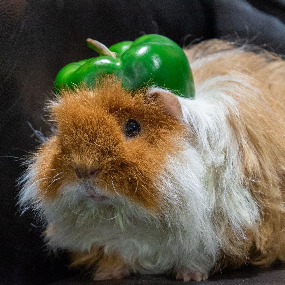 guinea pig pet insurance australia