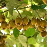 Kiwipflanze: Pflanze, Nahrung, Ernte Kiwi # Bonbon Winterharte Kiwi   - rsm23230400 - #Bonbon #Ernte #Kiwi #KiwiPflanze #NAHRUNG #Pflanze #rsm23230400 #Winterharte #kletterpflanzenwinterhart Kiwipflanze: Pflanze, Nahrung, Ernte Kiwi # Bonbon Winterharte Kiwi   - rsm23230400 - #Bonbon #Ernte #Kiwi #KiwiPflanze #NAHRUNG #Pflanze #rsm23230400 #Winterharte #kletterpflanzenwinterhart