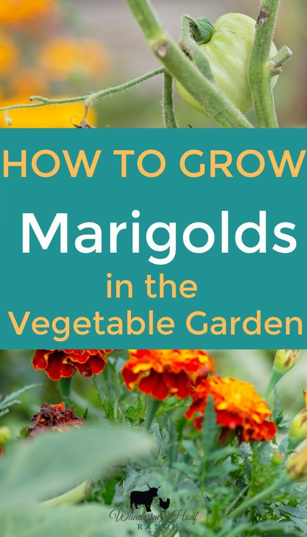 How to Grow Marigolds is part of Growing marigolds, Vegetable garden planner, Garden layout vegetable, Garden companion planting, Companion planting vegetables, Planting vegetables - learn how to grow marigolds, a stunning annual flower that attracts bees and butterflies and keeps deer and slugs away from your vegetables!