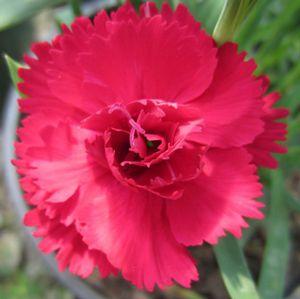 Garden Spice Red Carnation Dianthus Caryophyllus Garden Spice Red From Zelenka Farms Dianthus Caryophyllus Red Carnation Carnations