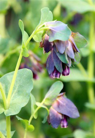 Bijzondere, speciale eenjarige planten voor in de bloemenborder te planten - Arctotis - Cerinthe en Ageratum
