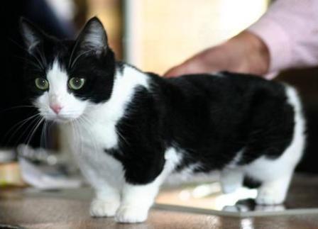 Image result for munchkin cat jpg