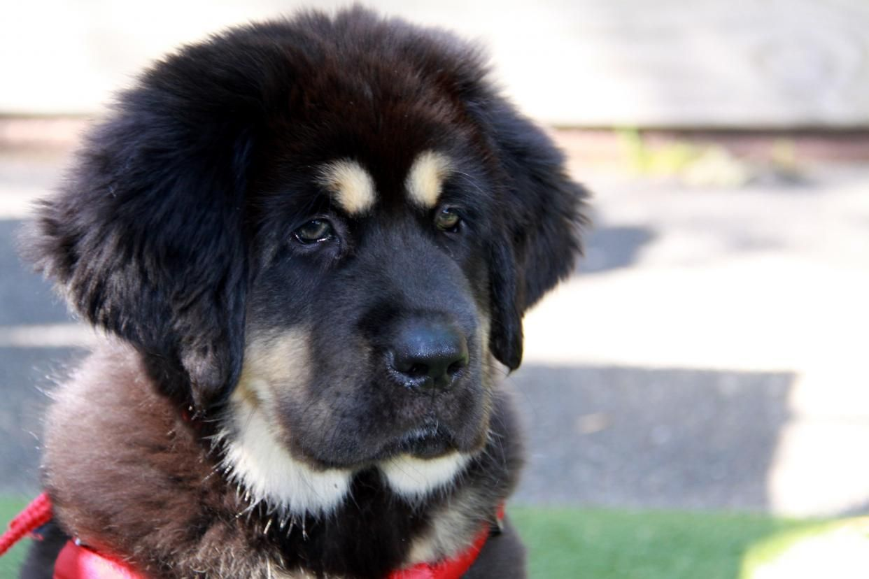 Shared by neve102: #Tibetan #Mastiff (IMG_9556.jpg)