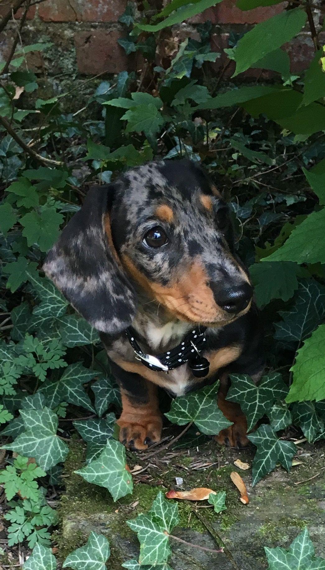 Thunder dapple miniature dachshund