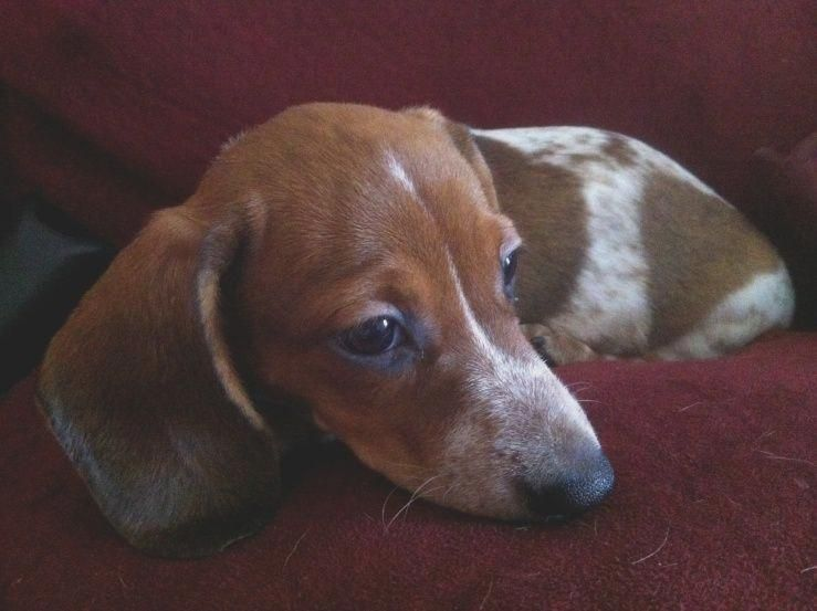 10 Facts You Never Knew About Miniature Dachshund Puppies For Sale
