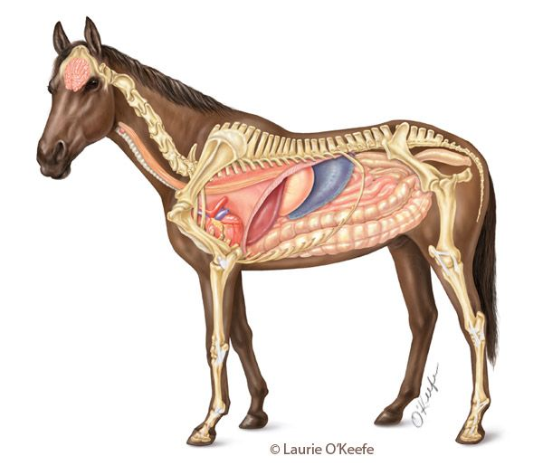 Horse internal anatomy. Art by Laurie O\'Keefe | Veterinary ...