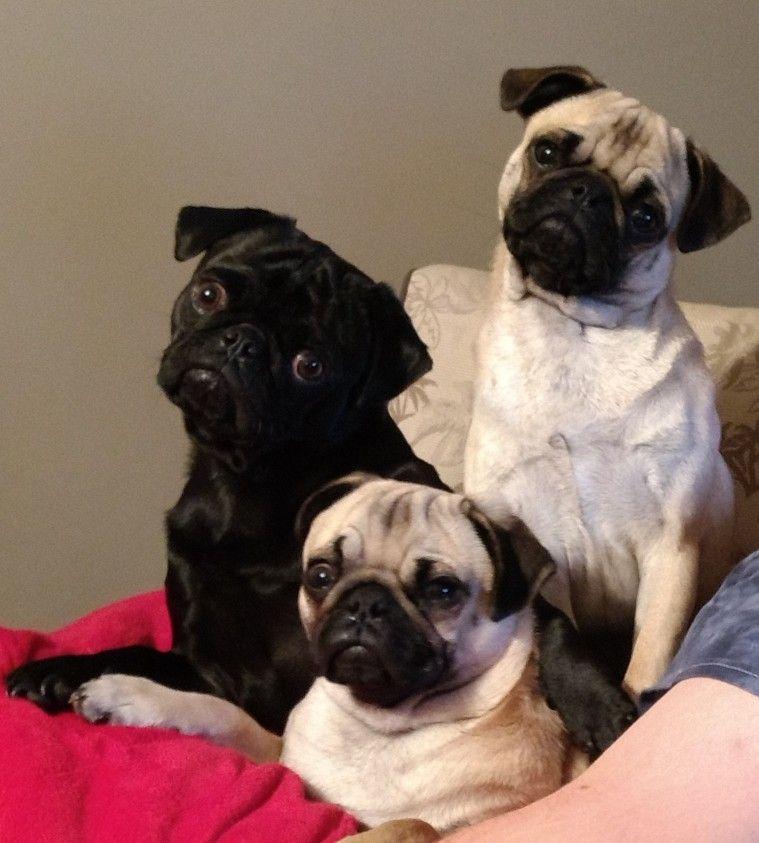 Pug Siblings Zeke Ruby Rose Tater Tot Labrador Puppy Pugs