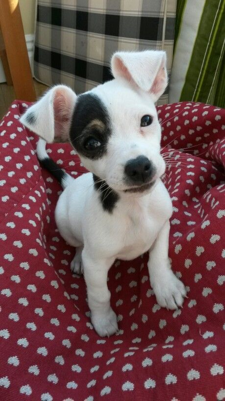 My Little Jackawawa Puppy 10 Weeks Old Cute Dogs Cute Dog Pictures Baby Dogs
