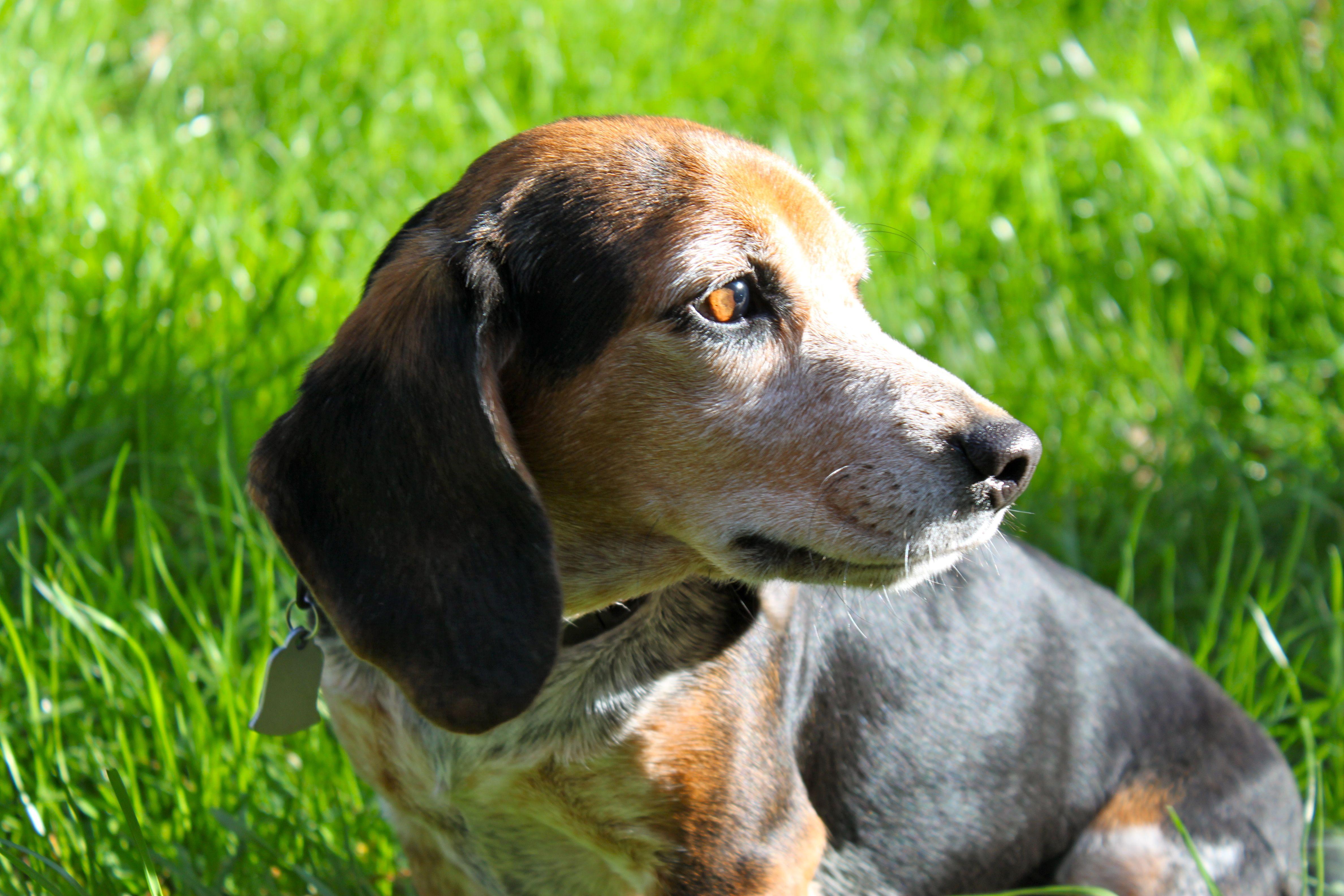 Chaco Rocking Beagle Beagle Basset Hound Dogs