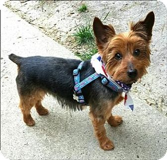 Yorkie Yorkshire Terrier Dog For Adoption In Whiting New Jersey