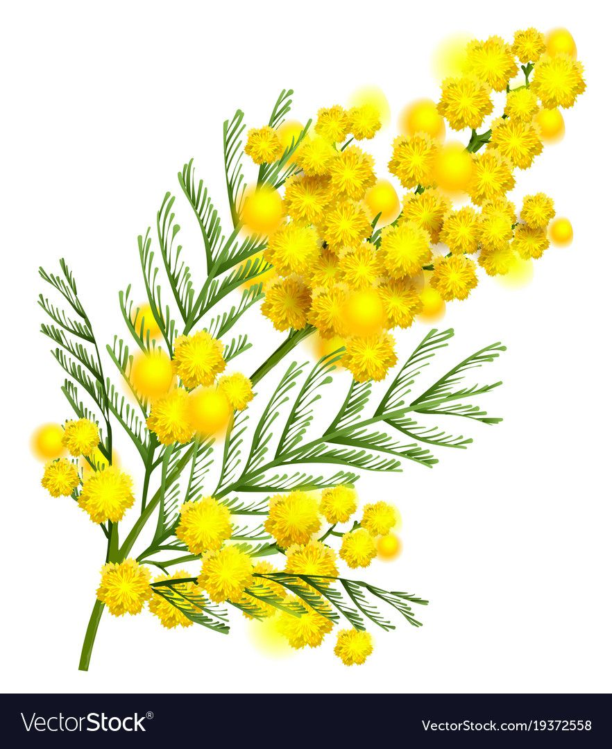 Yellow Mimosa Flower Branch Symbol Of Spring Vector Image Affiliate Flower Branch Yellow Mimosa Ad Mimosa Flower Flower Symbol Flower Branch