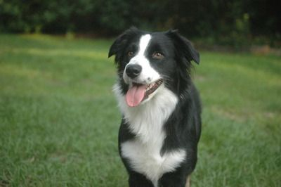 Australian Shepherd Black Bi Collie Border Collie Australian Shepherd