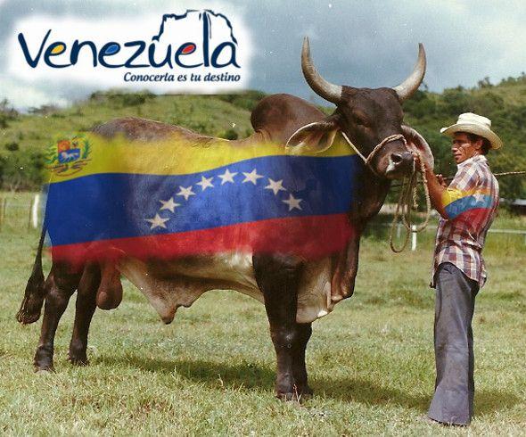 Toro y vaquero venezolano